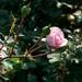 Rosa 'Bonica' Sw 9-22-12 3868 lo-res