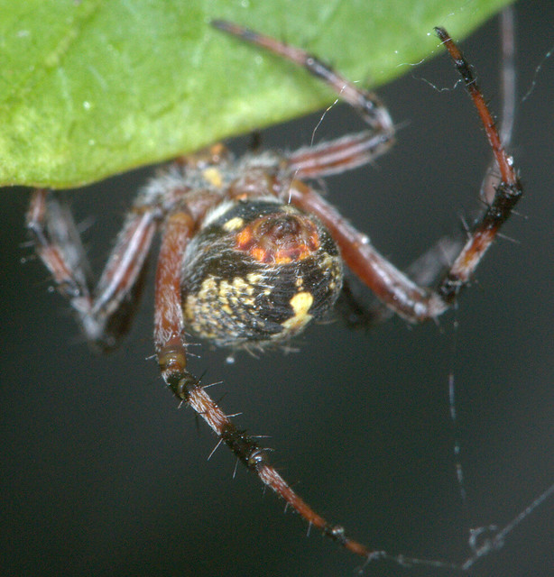 """judith beveridge the orb spider Judith beveridge's """"orbs spider"""" is about a typical garden spider outside her  home that she observes during the day the poet describes the spider's activity in ."""