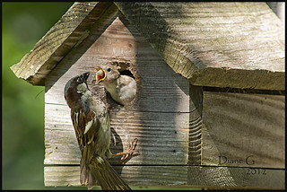 Father Sparrow feeding young. | by Diane G. Zooms---Mostly Off
