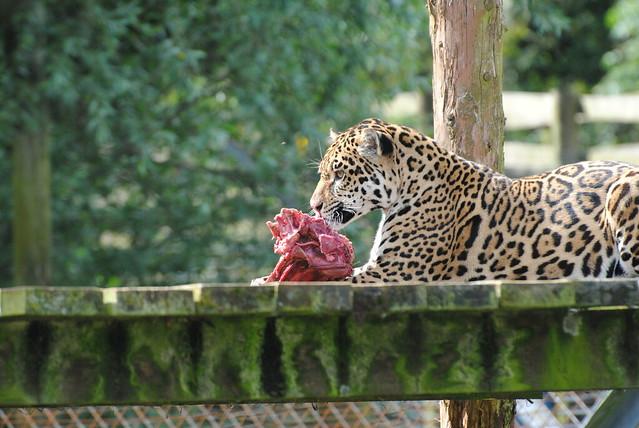 Jaguar Eating Related Keywords Jaguar Eating Long Tail
