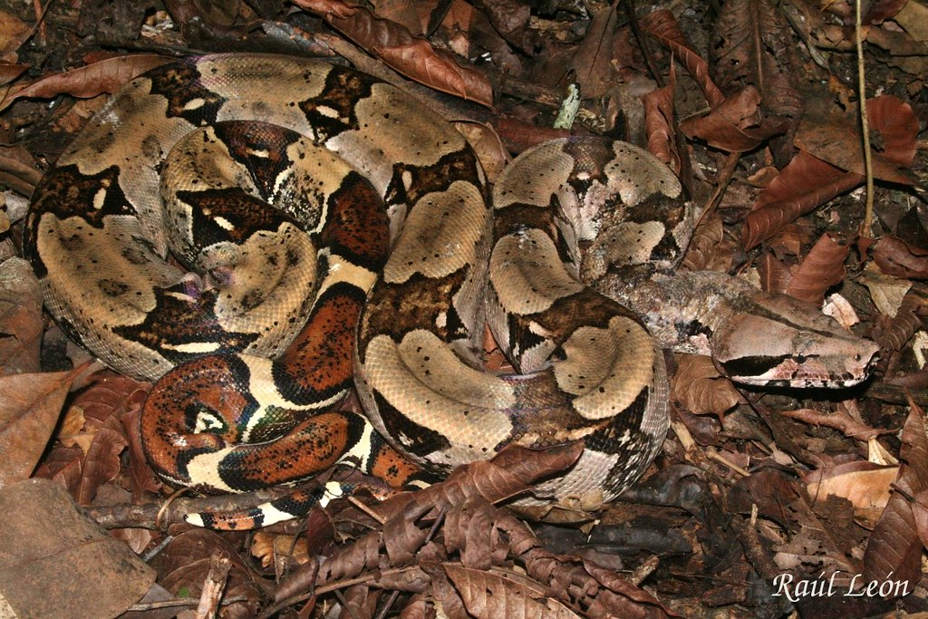 Red Tail Boa Constrictor Boa Constrictor Adulto Red