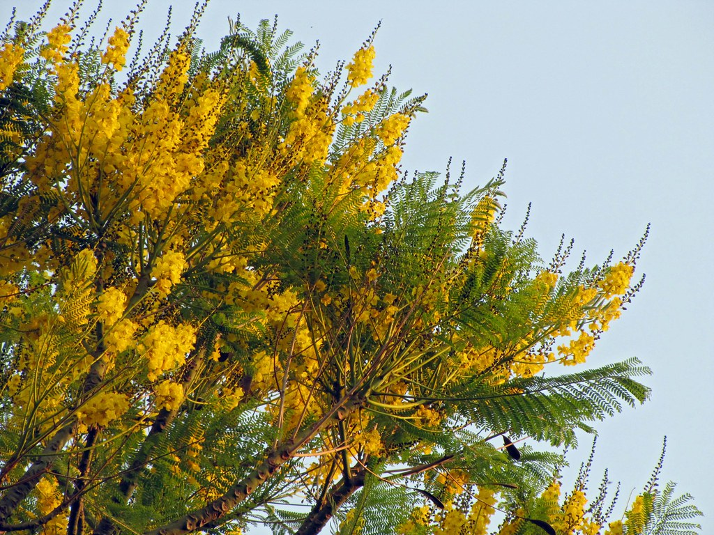 Yellow flowering trees a gallery on flickr schizolobium parahyba guapuruvu mightylinksfo