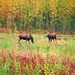 Fairbanks Alaska  Fall Moose