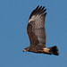 Snail Kite with Nesting Material 2