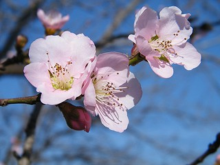 Peach blossoms | by Piet Grobler