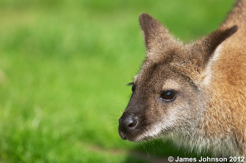 wallaby portrait 6 | by jjohnson2012