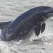 BND Bottlenose dolphin (Tursiops truncatus) 04 Sep-12-44874