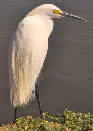 Snowy-Egret  (Explored) | by lgold86