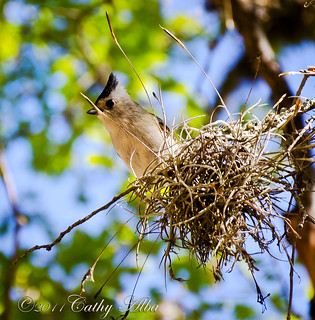 Black-Crested Titmouse | by calba