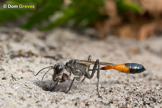 Sand Digger Wasp Labour | by Dom Greves
