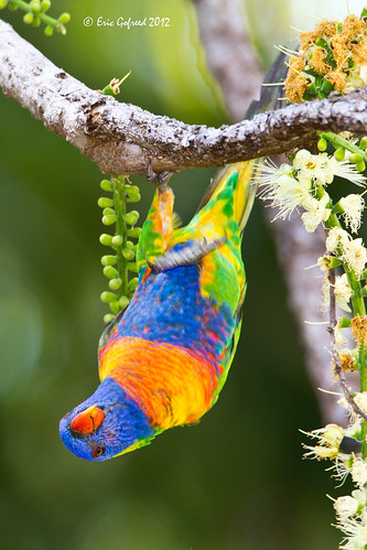 Rainbow Lorikeet | by Eric Gofreed