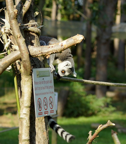 A Lemur reading the sign | by Kerry711