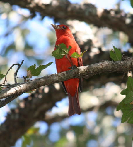 summer tanager (2) | by Mike @ Iowa Voice