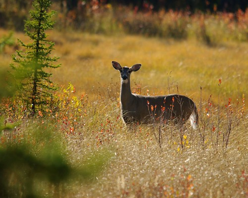 White Tail Deer | by caseyphoto68