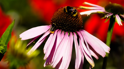 Pink flower with Bee | by Rhiannon Hodge