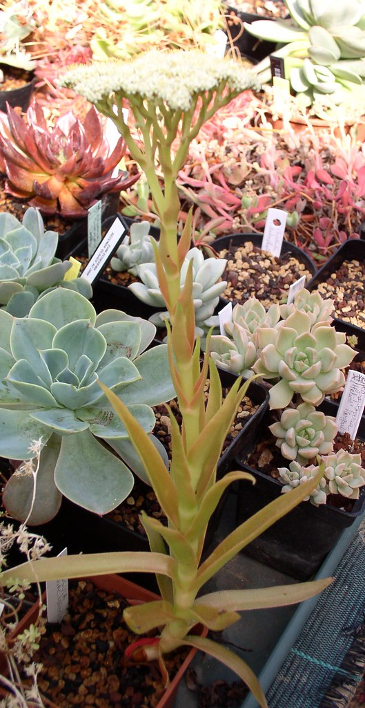 Crassula acinaciformis pl 2 crassula acinaciformis for Plante crassula