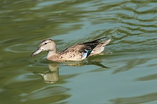 Blue-winged Teal | by CaliKatBird
