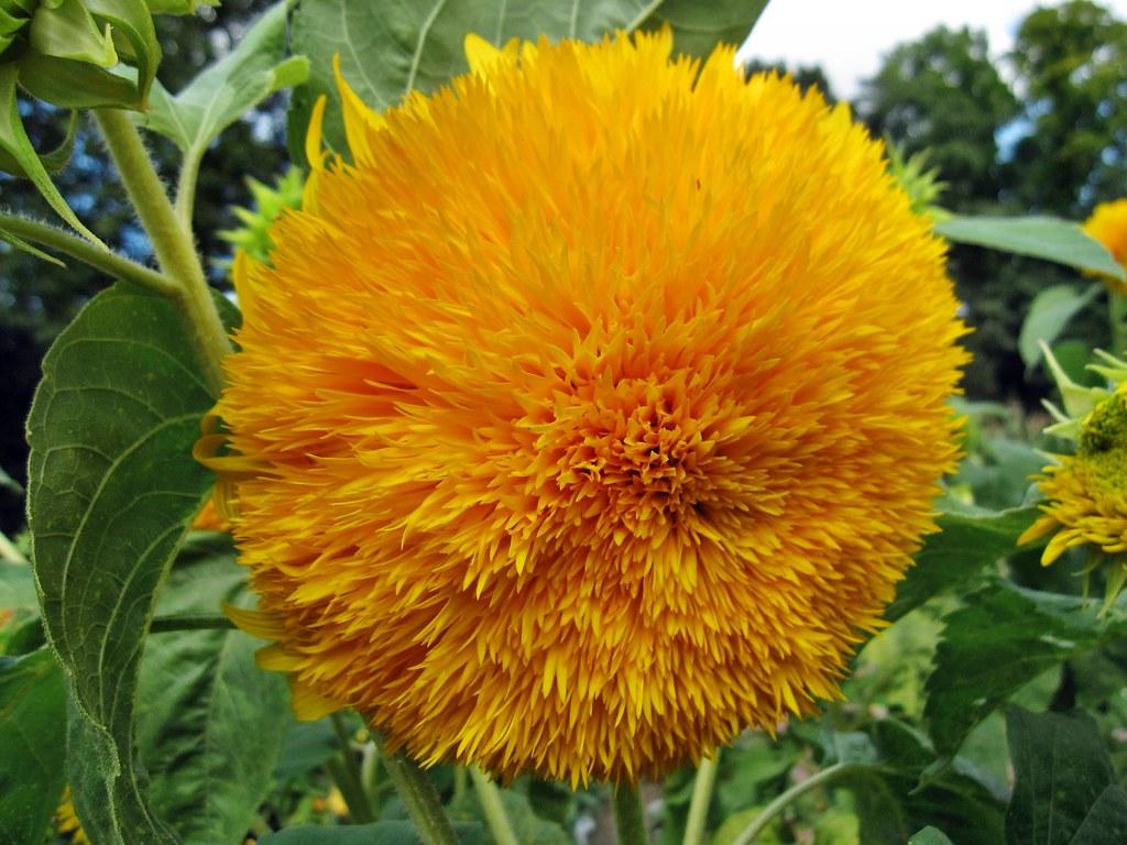 Sonnenblume On Explore 7 Sept 2012 486 Christine