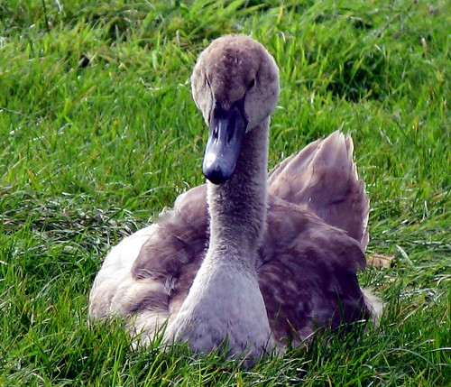 There once was an ugly duckling ... | by ☜✿☞ Bo ☜✿☞