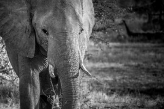 Elephants - South Luangwa - Zambia | by virtualwayfarer