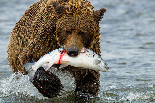 Dinner is Served.  Coastal brown bear in Lake Clark National Park 3760 | by Dr DAD (Daniel A D'Auria MD)