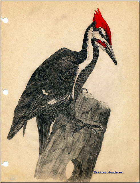 Pileated Woodpecker Drawing Pileated Woodpecker Dr...