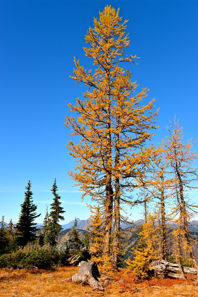 Larch Tree High Alpine Larch Tree Some Tree S Here Are