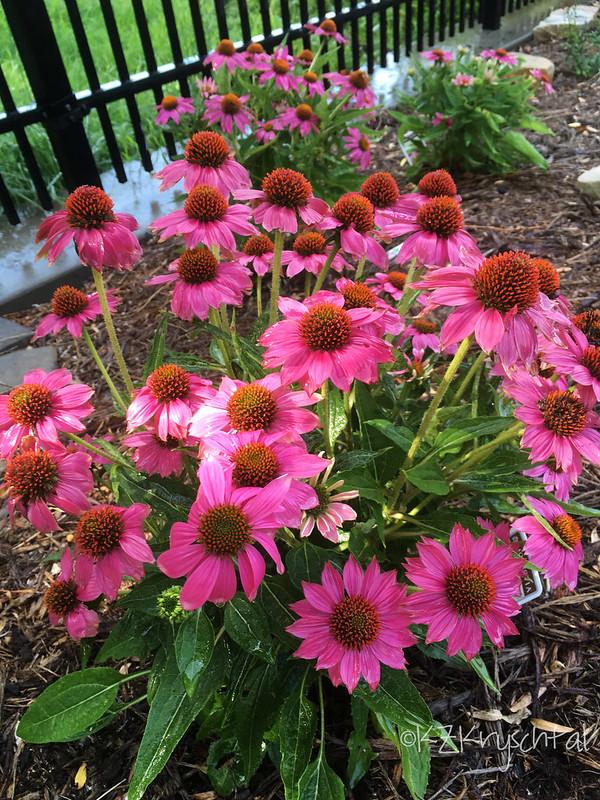 IMG_2313PowWowWildBerryConeflowers