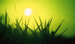 Farm, sun through reed canary grass, green filter | by Rosewoman