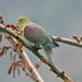 Wedge-tailed Green Pigeon (Treron sphenurus)