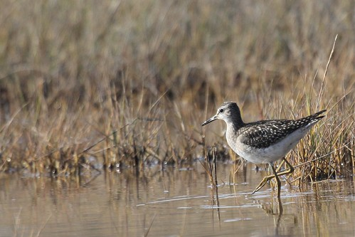 Wood Sandpiper | by Aphelocoma_