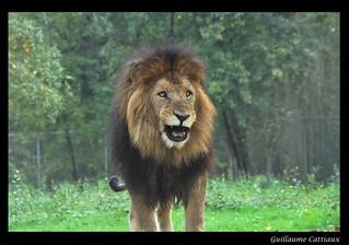 Le roi des animaux lion du parc animalier et zoo de for Parc animaux yvelines