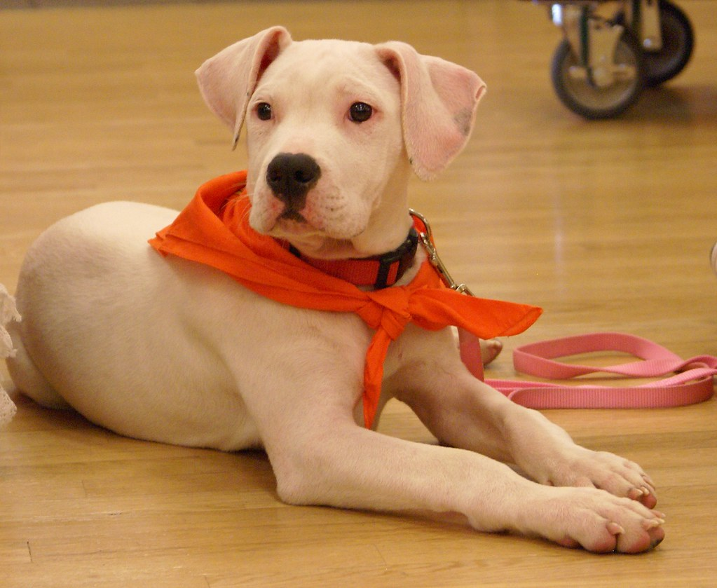 Image result for pit bull puppy