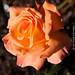 September Rose 2