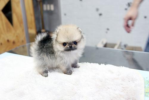 Tiny teacup pomeranian puppy | The cutest,the tinnest,the ...