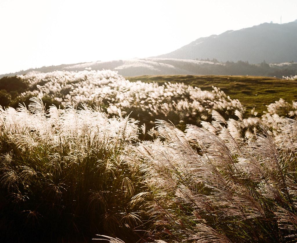 陽明山上的芒草。