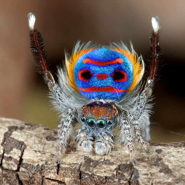 Peacock jumping spiders - photo#44