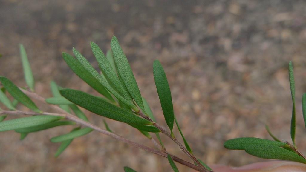 Tea Tree Oil Serum Sonoma Naturals
