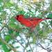 Northern Cardinal 20121012