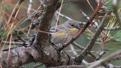 """Audubon's"" Yellow-rumped Warbler - Northampton Co, Virginia 
