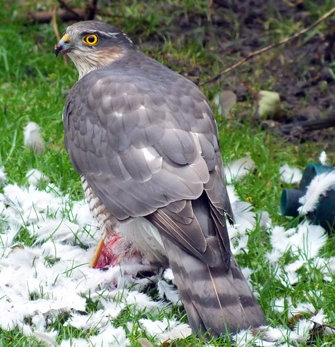 2012 12 30 Sparrowhawk-50 | by Keith Laverack