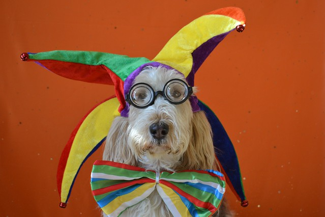 Grand Basset Griffon Vendéen in Costume