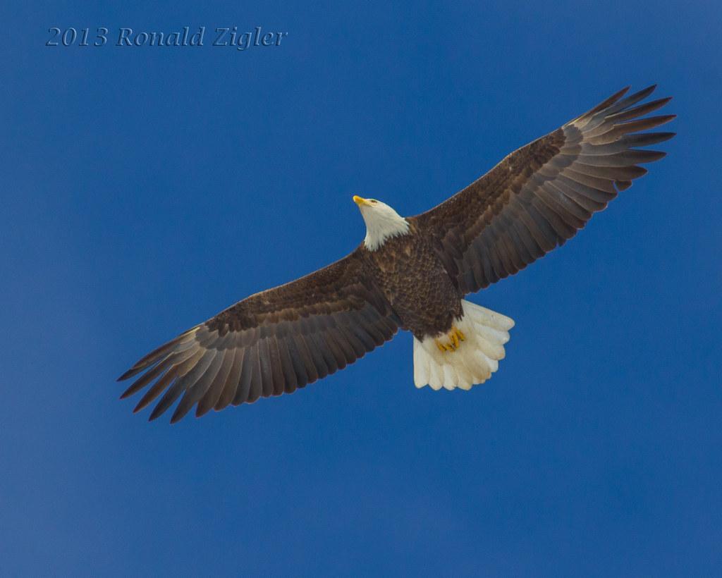 Bald Eagle Fly Over IMG 9273 Peace Valle Park Bucks