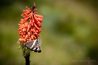 Mountain Pride on Kniphofia species | by Michael_Whitehead