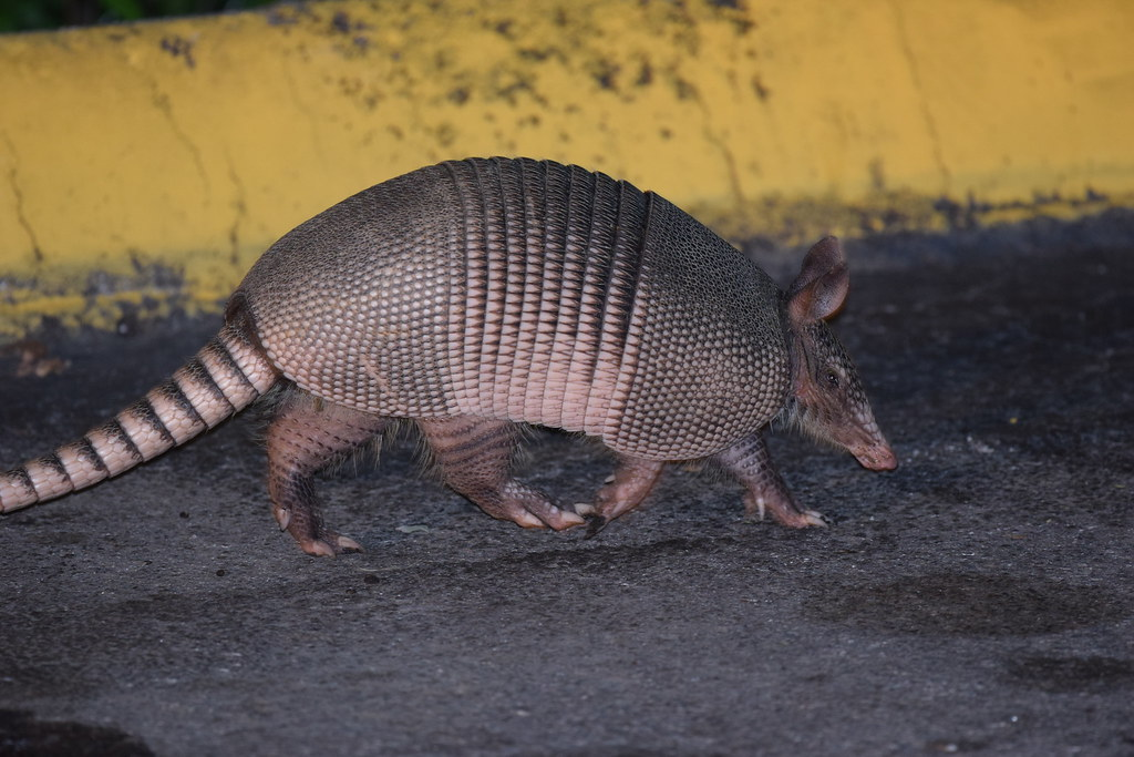 Image result for Armadillo in Missouri photos
