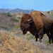 Wild Buffalo on Catalina Island