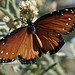 Queen Butterfly - Bosque