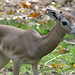Female Dama Gazelle Born at the Smithsonian's National Zoo