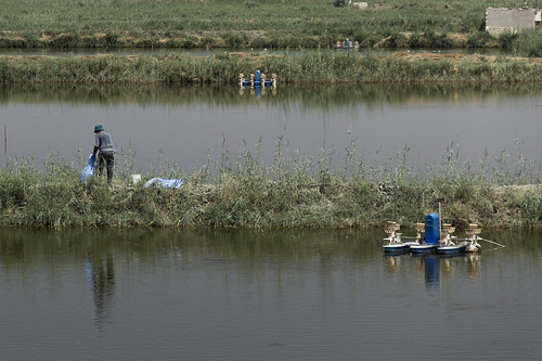 Feeding the tilapia in large intensive aquaculture ponds, Egypt. Photo by Samuel Stacey, 2012 | by WorldFish