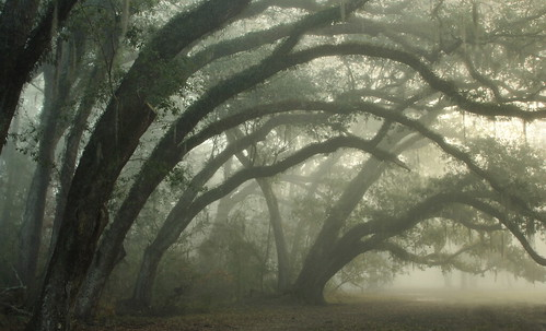 Curving Oaks in Fog | by Lana Gramlich